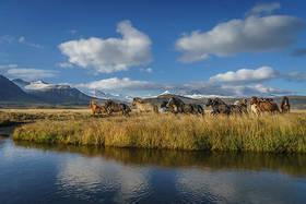 48991 reykjavik icelandic horses article
