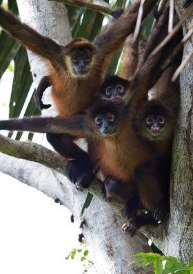 Monkeys  costa rica article