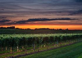 Wolffer vineyard at sunset article