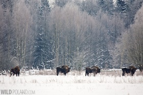 European bison winter bialowieza forest poland 010 article