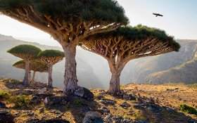 Dragon blood trees yemen tree0117 article