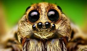 Wolf spider article