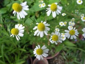 Chamomile article