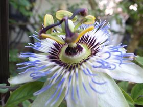 Passionflower article