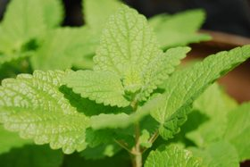 Lemon balm article