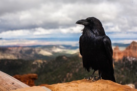 Crow 828944 1280 article
