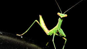 Ruth bader ginsburg praying mantis article