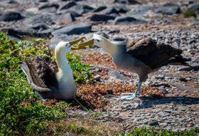Waved albatross 768x525 article