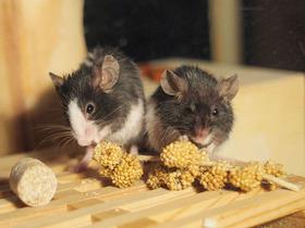 Pet mice eating article
