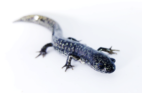 Mmandica ambystoma cingulatum metamorphaf article
