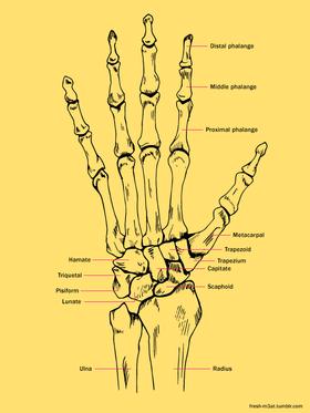 Hand bones 559427aa3b5cc article