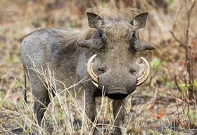 Warthog article