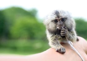Marmoset article