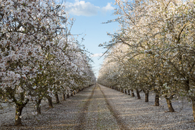 Almonds in bloom 640 article