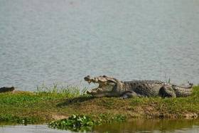 Croc article