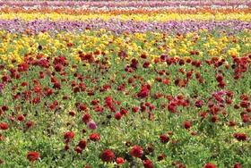 Carlsbadflowerfields alejandromallea cc1 8ca8fd78 article