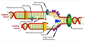 Dna replicating diagram article
