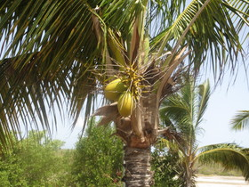 Anguilla close up palm with coconut credit melanie reffes article