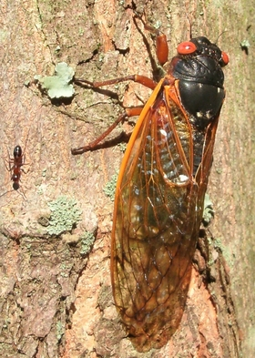 Cicada pic rev article