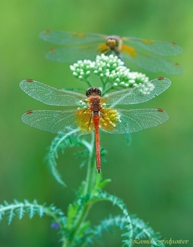 Dragonflies article