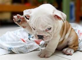 Funny pet wallpapers bulldog puppies 4889670974049294 article