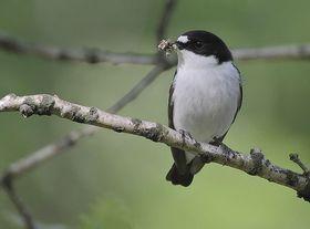800px flickr   rainbirder   pied flycatcher %28ficedula hypoleuca%29 article