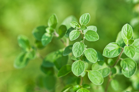 Oregano article