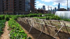 New crops chicago urban farm 1 article