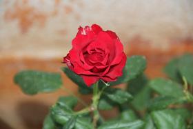 Rose article