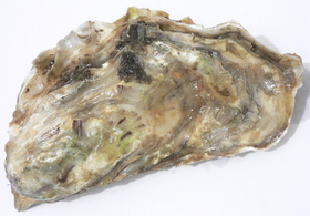 Oyster image article