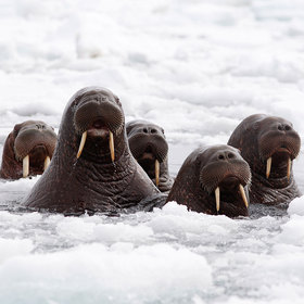 Walruses article