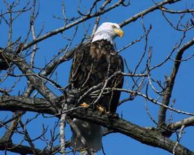 Bald eagle 03 100726 02 article