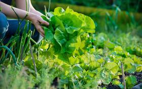 Lettuce garden ftr 1024x640 article