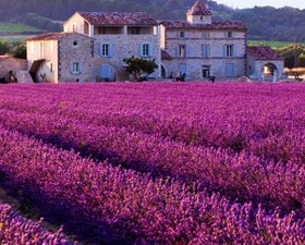 Provence lavendar featured 300x241 article