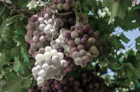 Ice wine purple article