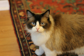 Cat on rug article
