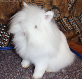 Iionhead rabbit white 1410 article