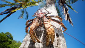 Coconut crab on tree gary roberts alamy crop article
