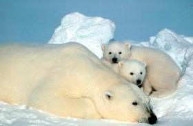 Arctic polar bears 110225 02 article