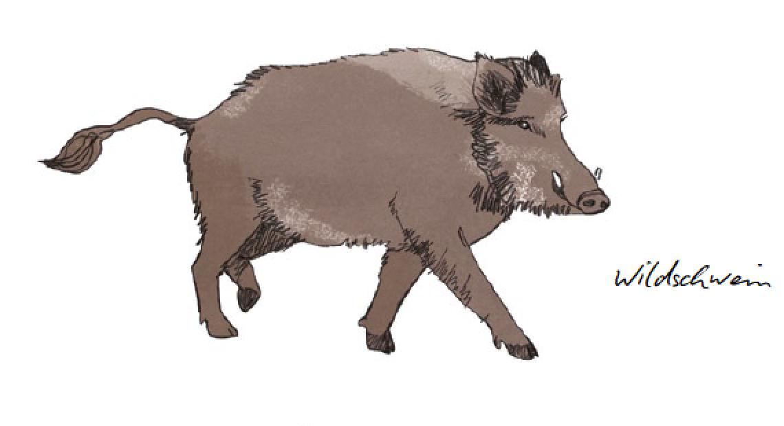 Wildschwein herbst