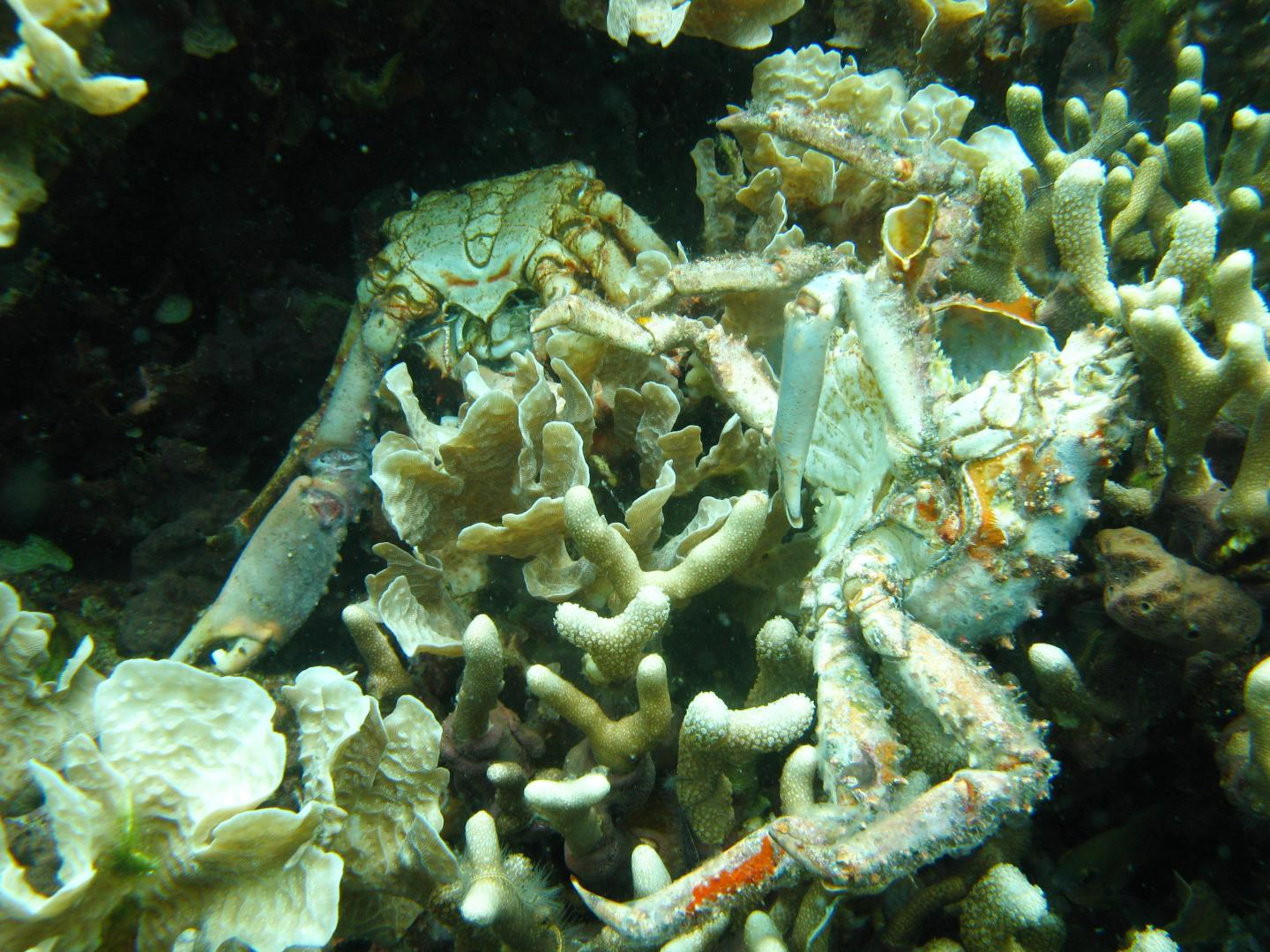 Dying crabs and coral