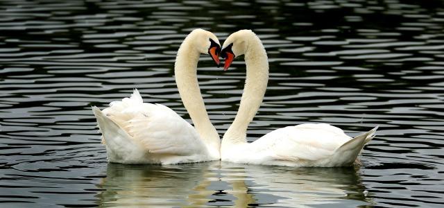 Lakeland swans2 640x300