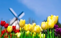 Tulips in holland 300x188 preview