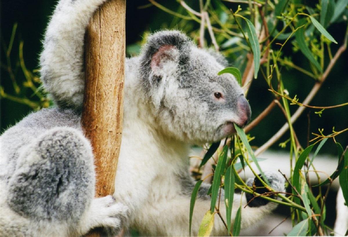 Koala-ag1.jpg?1554541660