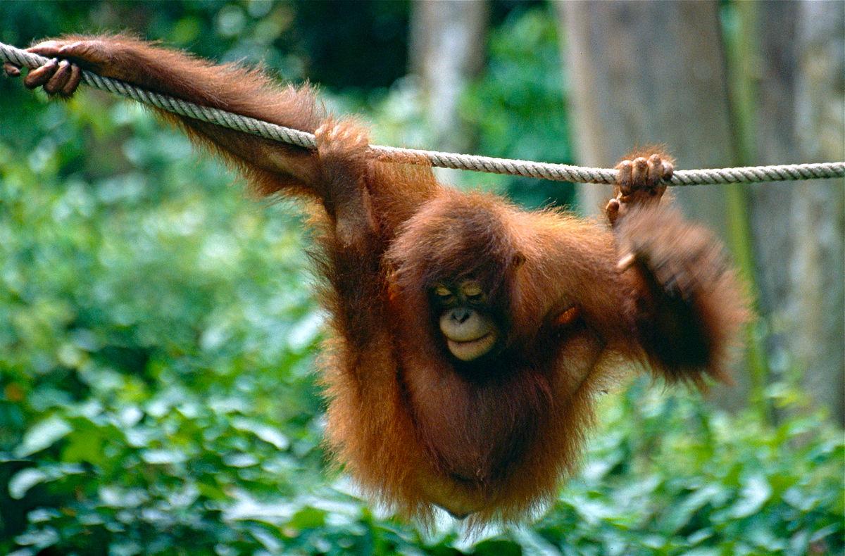1200px-Bornean_Orangutan_%28Pongo_pygmaeus%29_%2814562544106%29.jpg?1554542077