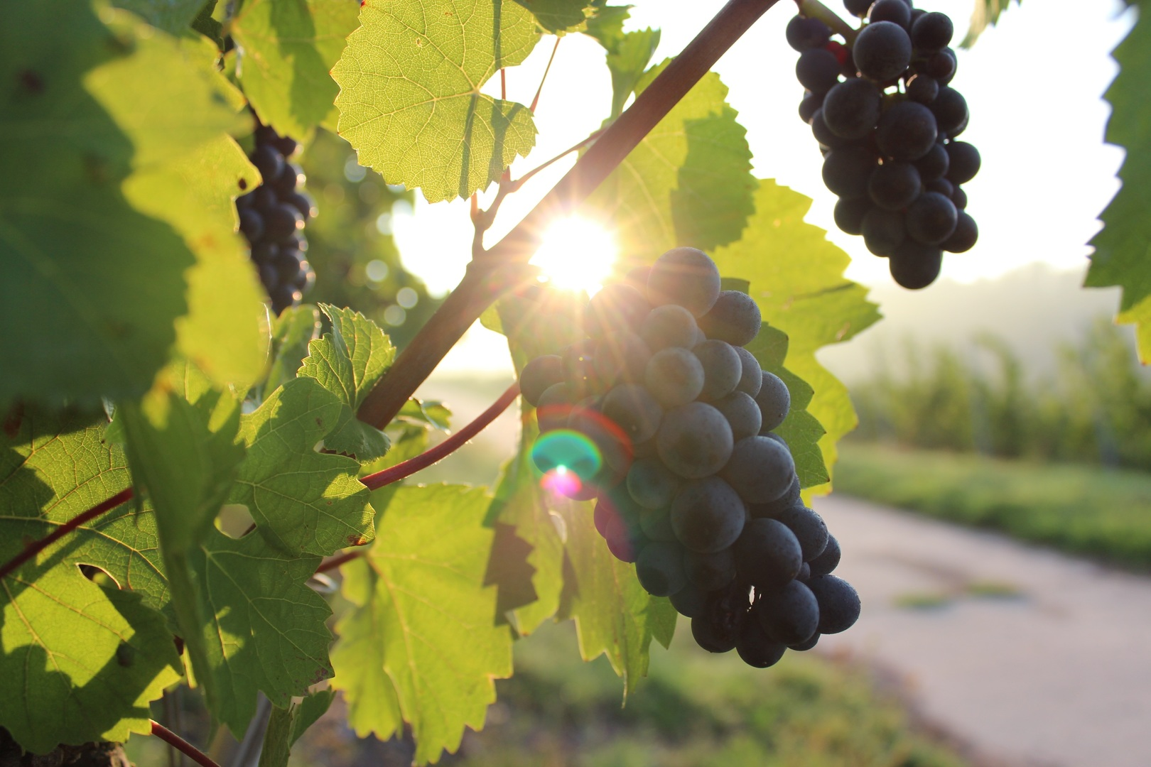 nature-plant-grape-vine-vineyard-bunch-1062577-pxhere.com.jpg?1557826655