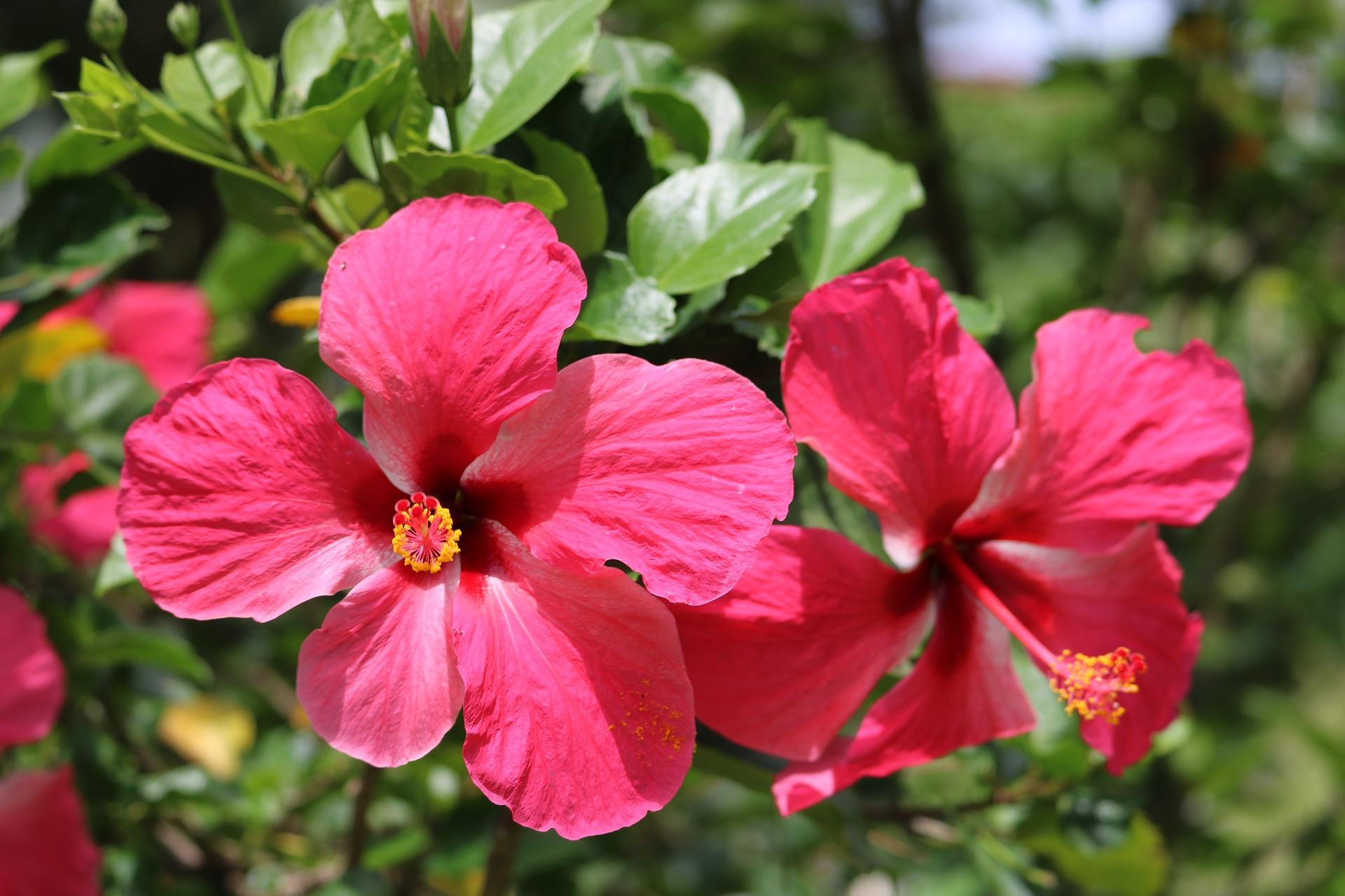 Hibiscus_Martinique.jpg?1560868736