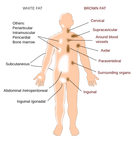 Where is Brown Fat in the Body
