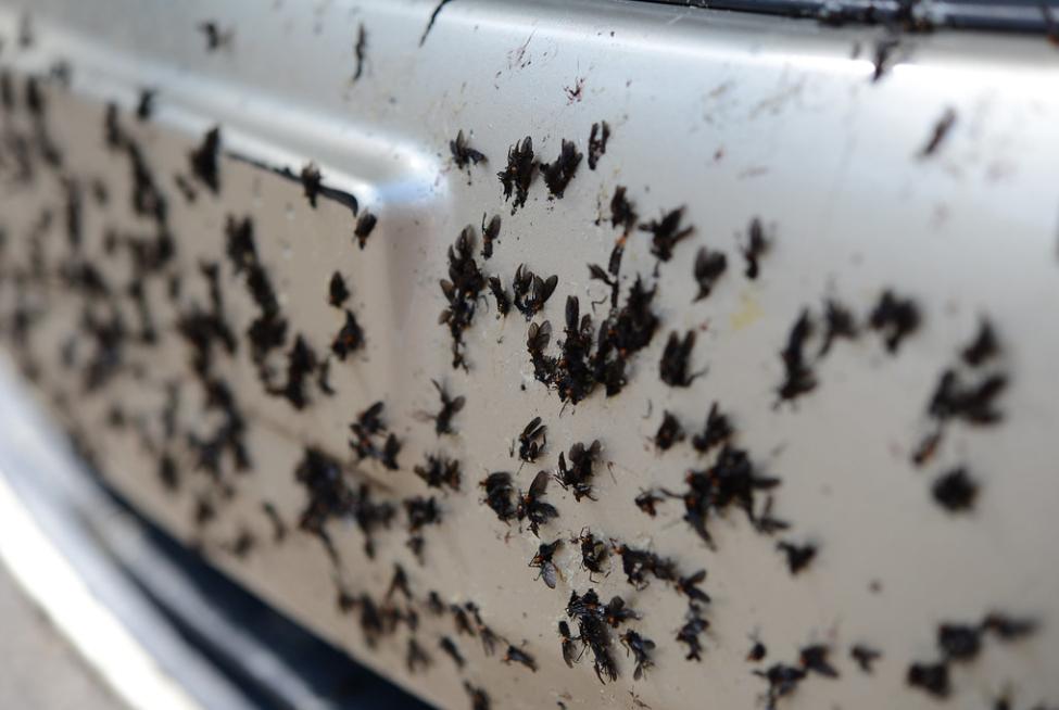 lovebugs splattered on bumper | Tim Donovan | Flickr