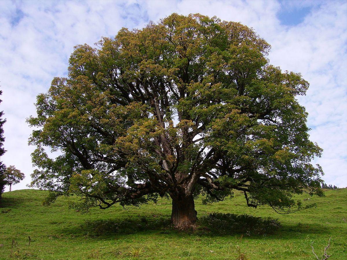 Sycamore maple tree